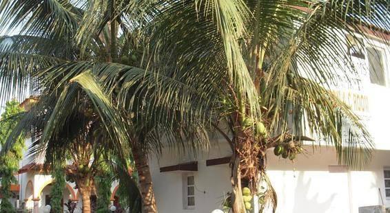 Macedo Sugar Plums (Ex. Macedo Palms Lemonmint)